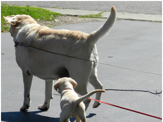 Big yellow lab with little yellow lab